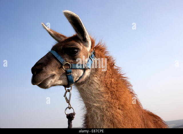 Llama head picture against blue sky - Stock Image