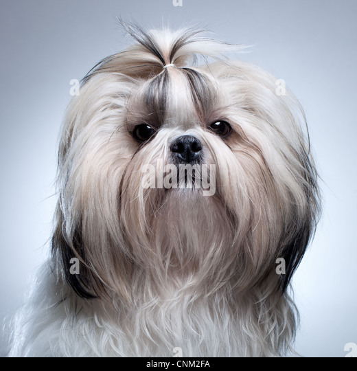 Shih tzu dog on grey background portrait. - Stock Image