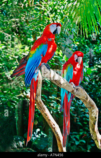 Brazil birdpark near Iguazu falls colorful Aras - Stock Image