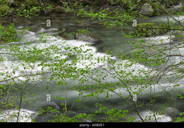 Little North Santiam Wild and Scenic River with early spring growth on Vine Maple trees Willamette National Forest - Stock Image