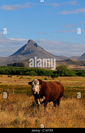 Bull  in Patagonia - Stock Image