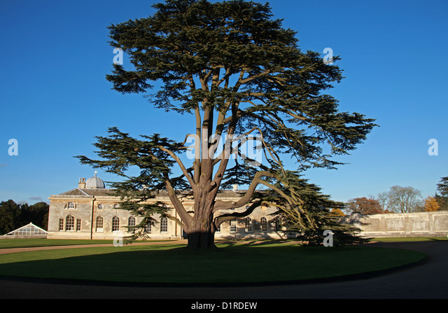 Cedar of Lebanon, Cedrus libani, Pinaceae, Lebanon, Syria and Turkey. Specimen Tree at Woburn Abbey, Bedfordshire, - Stock Image