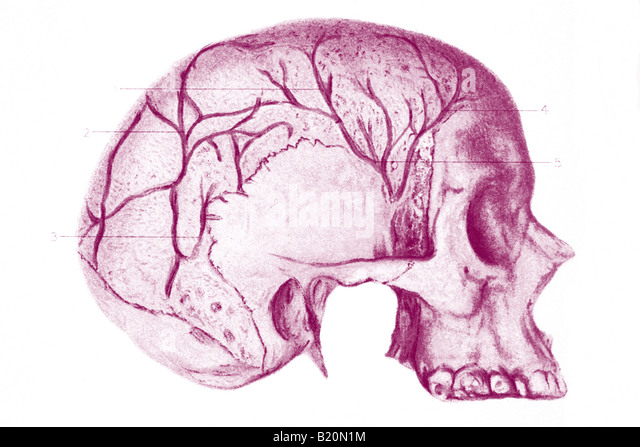 ILLUSTRATION SKULL WITH DIPLOIC VIENS SHOWN - Stock Image