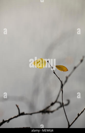 The last autumn colored birch leaves are clinging to their twigs. - Stock Image