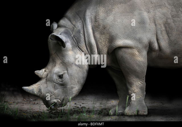 Rhinoceros bending to eat over dark background - Stock Image