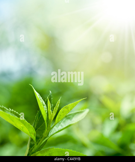 Tea leaves at a plantation in the beams of sunlight. - Stock Image