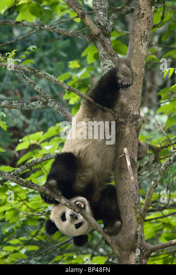 Giant panda descends a tree upside down tree Wolong, China - Stock Image