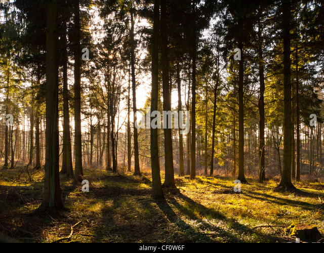 Glade in forest with late afternoon beams of sunlight bursting through the trees - Stock Image