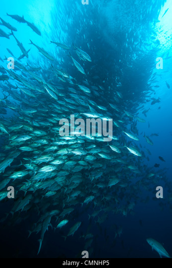 Shoal of Bigeye Jack, Malpelo Island, National Park, Natural World Heritage Site, Colombia, East Pacific Ocean - Stock Image