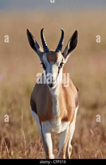 Springbok (Antidorcas marsupialis) buck, Mountain Zebra National Park, South Africa, Africa - Stock Image