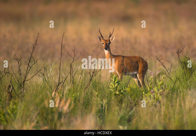 A young male Pampas Deer on the lush grasslands of Emas National Park in Brazil. - Stock Image