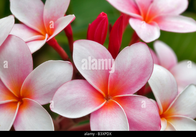 Plumaria or Frangipani bloom Kauai Hawaii - Stock Image