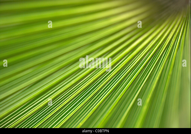 Green palm leaf - Stock Image