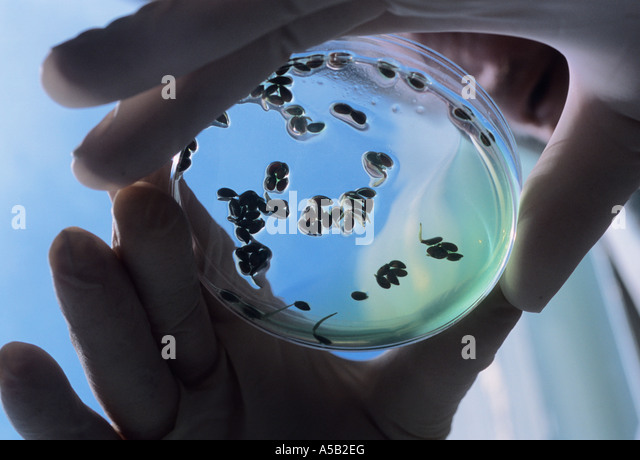 Science Lab A Technician with Two Rubber Gloved Hands Holding a Petri Dish Sandra Baker - Stock Image
