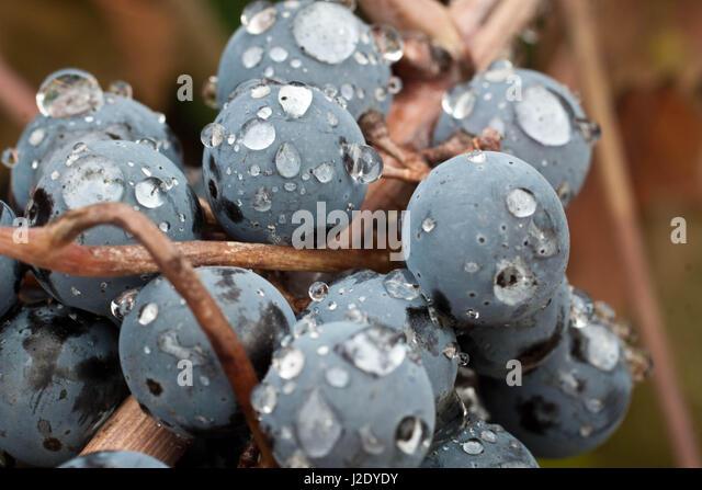 WetGrapes3260c   - Stock Image