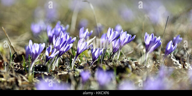 Lacnov, Czech Republic. 27th Mar, 2017. Crocuses (Crocus albiflorus) bloom on the meadows in Lacnov near Vsetin, - Stock-Bilder