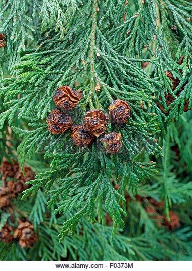 Chamaecyparis lawsoniana - Lawson Cypress Cones - Stock Image