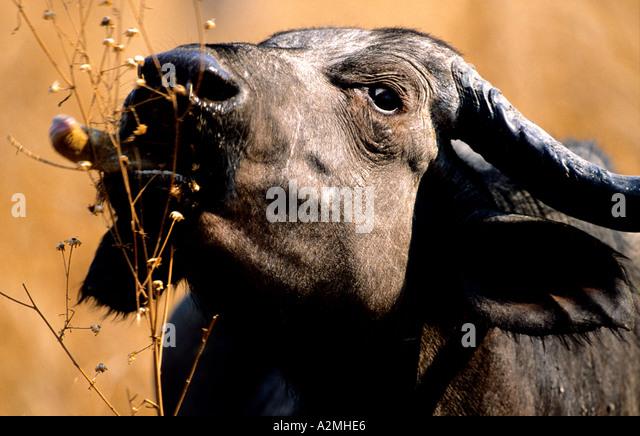 AFRICAN CAPE BUFFALO (Syncerus caffer) - Stock Image