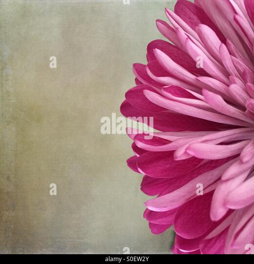 Minimal Close-Up of a Pink Dahlia - Stock Image