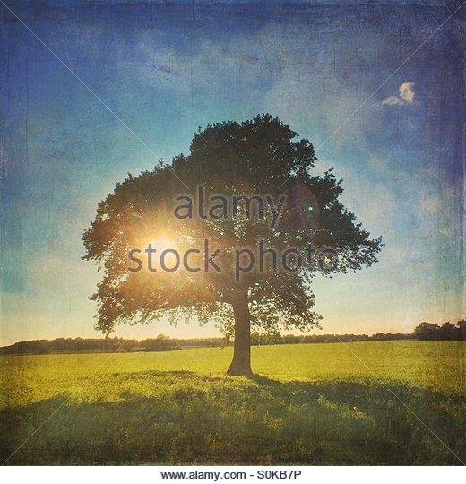 Sun Shining Through Oak Tree - Stock Image