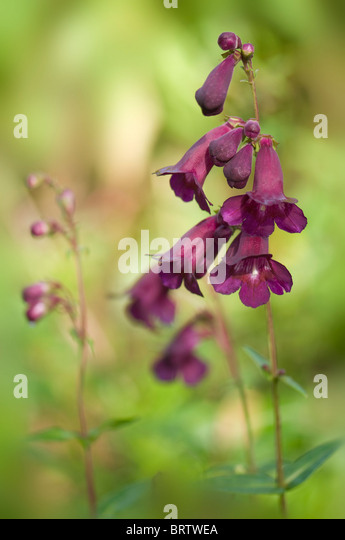Purple Penstemon Flowers against a soft background - Stock Image