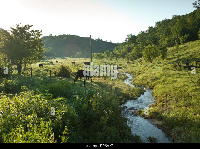 Cows eating grass in a sunny pasture with a stream - Stock Image