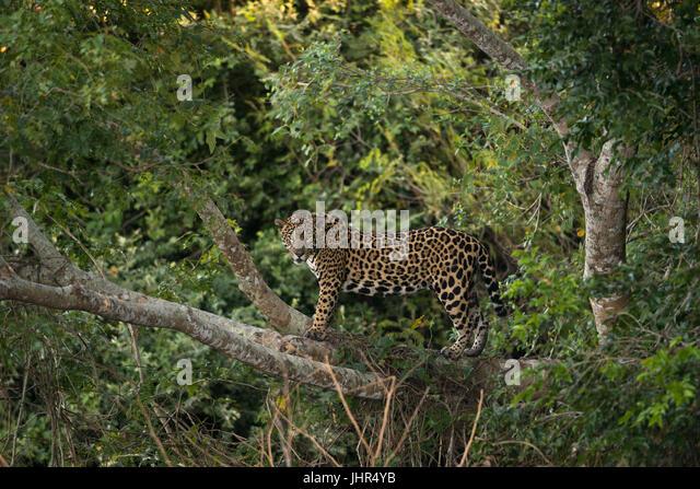A female Jaguar up on a tree - Stock Image