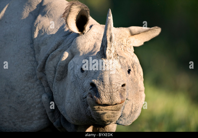 Indian Rhino Rhinoceros unicornis Kaziranga Assam - Stock Image