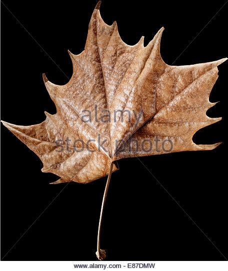 Beautiful dry maple leaf on black background - Stock Image