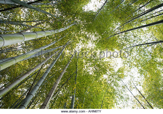 Low angle view of bamboo forest - Stock-Bilder