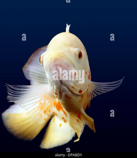 White Oscar Fish - Stock Image