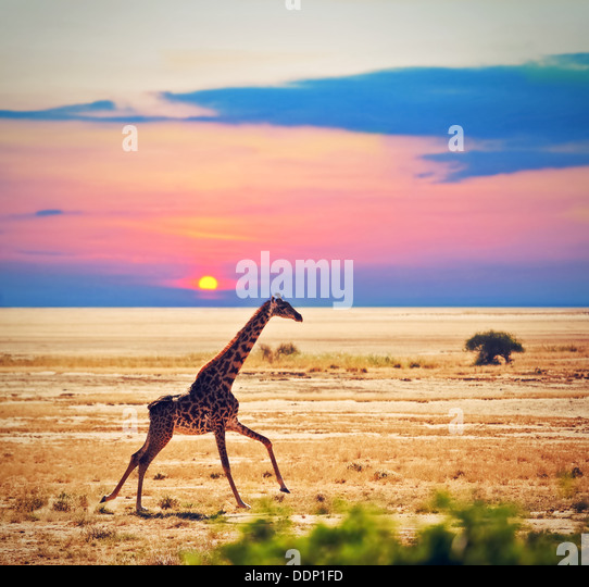 Wildlife - Giraffe running on the savanna at sunset. Safari in Amboseli National Park, Kenya, Africa - Stock-Bilder