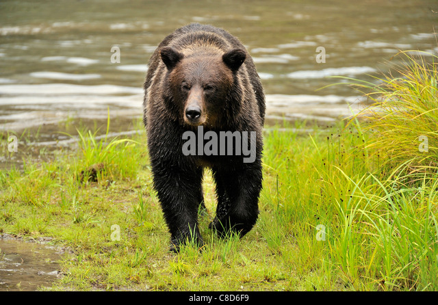 An adult grizzly bear walking along the edge of a water pond. - Stock-Bilder