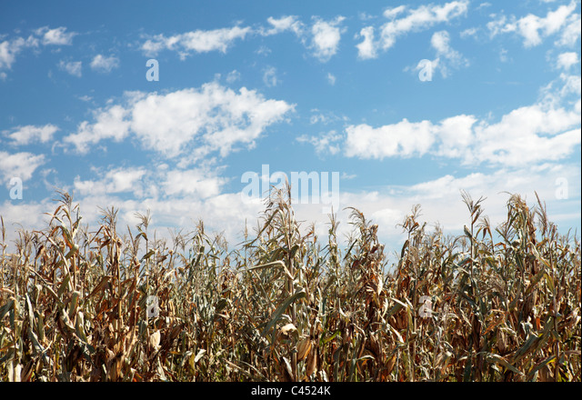 Drought Affected Maize Crop, Free State, South Africa - Stock Image