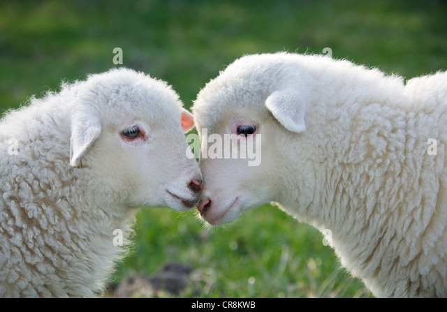 Two lambs face to face, close up - Stock-Bilder