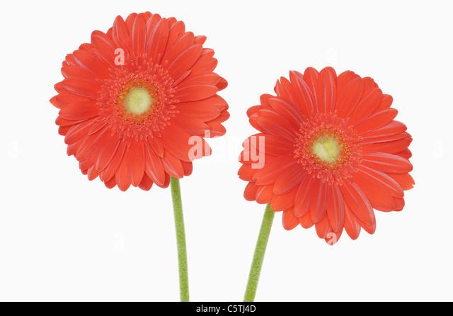 Gerbera flowers, close-up - Stock Image