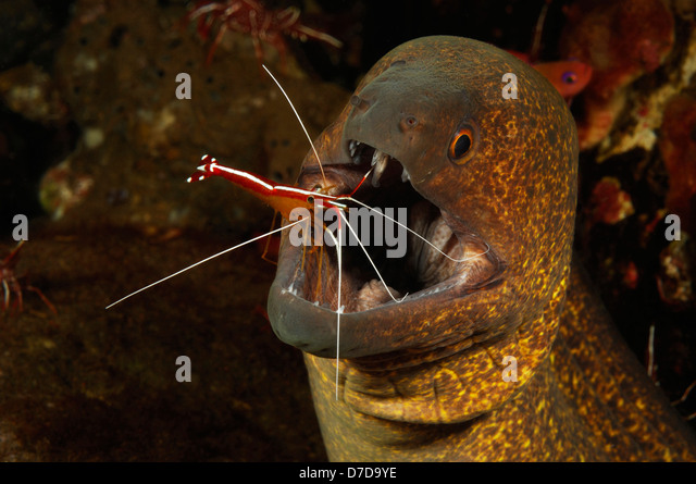 Yellow-edged Moray cleaned by Skunk Cleaner Shrimp, Gymnothorax flavimarginatus, Lysmata amboniensis, Bali, Indonesia - Stock-Bilder