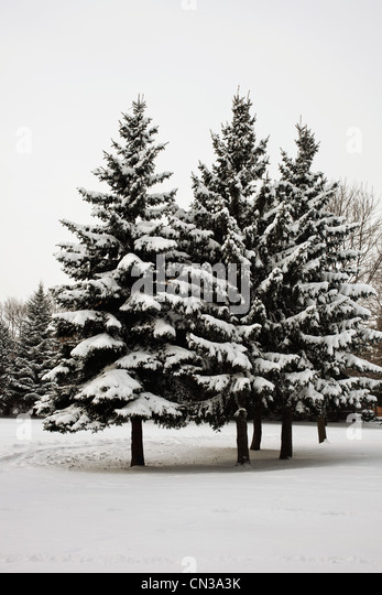 Snow covered trees - Stock Image
