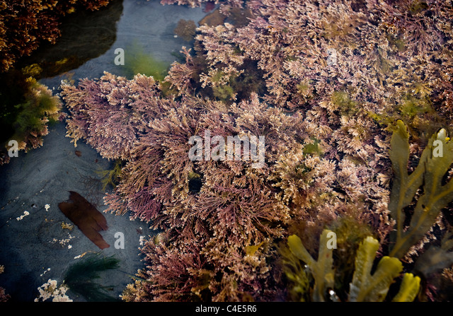 Red Seaweed in a rock pool, Runswick Bay, East Coast Yorkshire, England - Stock Image