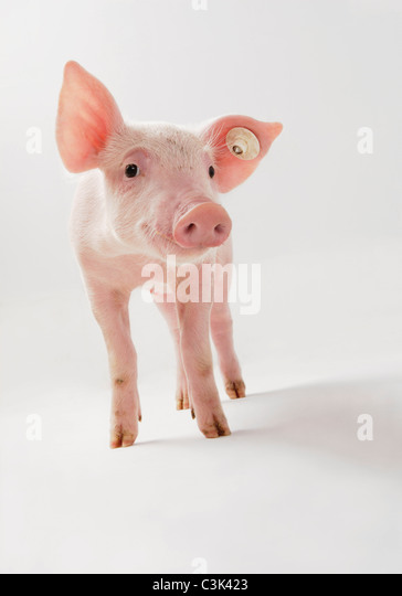 Pink piglet on white background - Stock Image