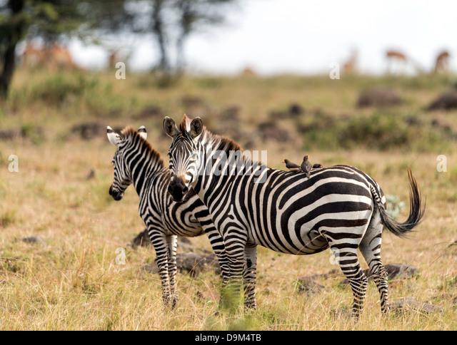 Zebras (Hippotigris) with birds on the back Masai Mara Kenya Africa - Stock Image