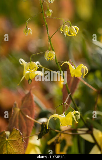 Close up of the small, yellow spring flowers in the spike of the barrenwort, Epimedium 'Buckland Buzz' - Stock Image