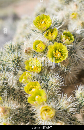 Large Group of Silver Cholla Flowers in California Desert during super bloom - Stock Image