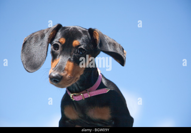 Bella the dachshund cocks her head emphasizing her ears that stand out against a clear blue sky. - Stock Image