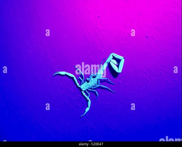 Scorpion under UV light - Stock Image