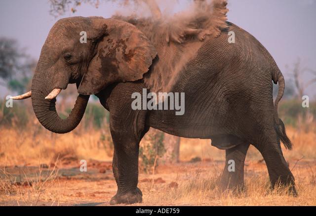 African elephant Loxodonta africana Dust bathing to protect skin from parasites Chobe National Park Botswana Africa - Stock Image