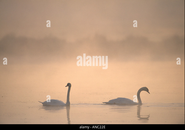 Mute Swan Cygnus olor pair at sunrise on lake in Richmond Park London - Stock Image