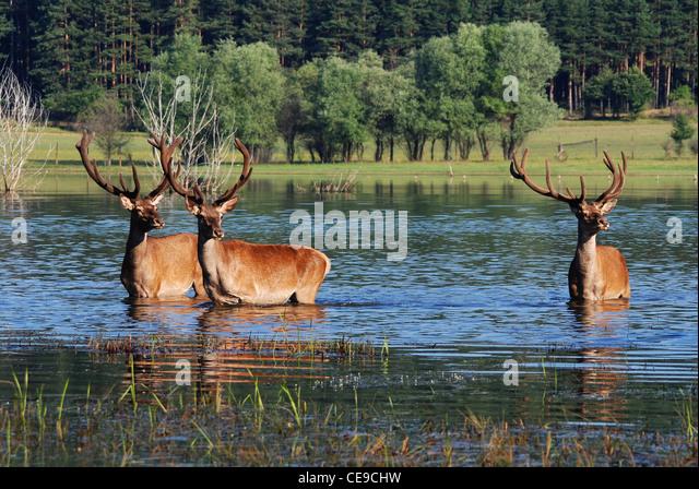 deer in water - Stock Image
