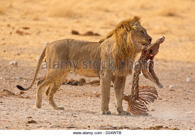 LION Panthera leo, male holding old kill in mouth - Stock Image