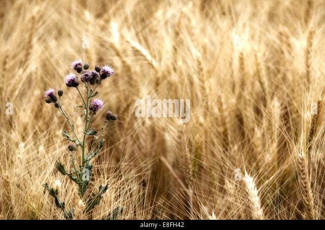 Thistle in wheat field - Stock Image